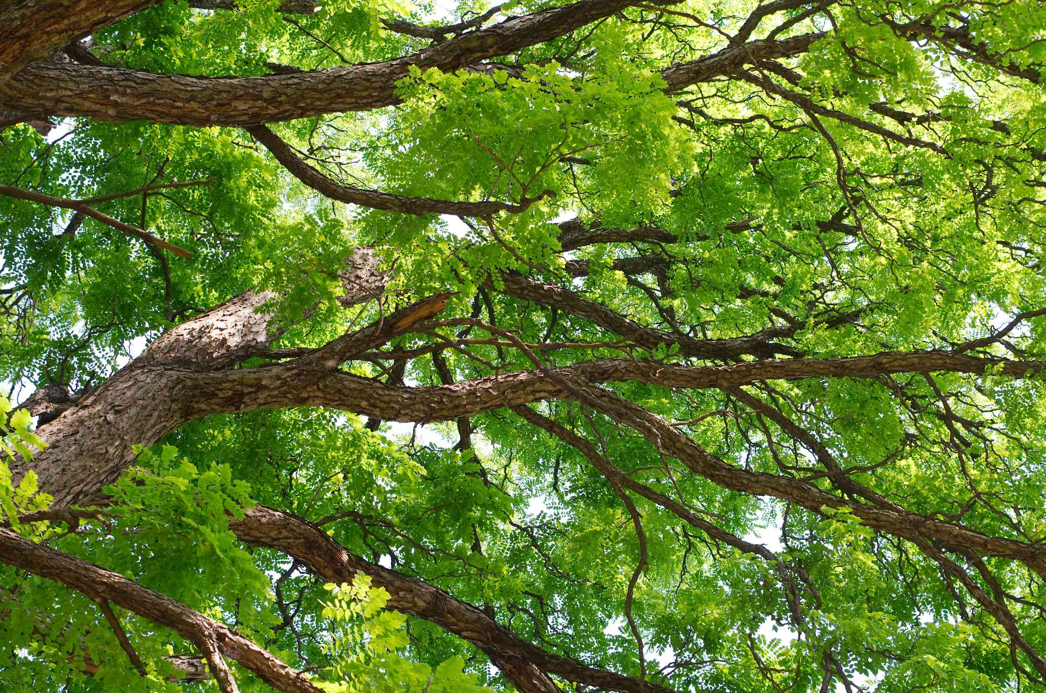 Kentucky Coffeetree Canopy
