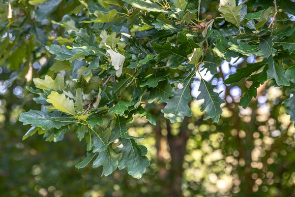 Bur oak tree branches with wavy edged leaves hanging