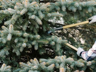 Evergreen tree branches pruned by long sheers
