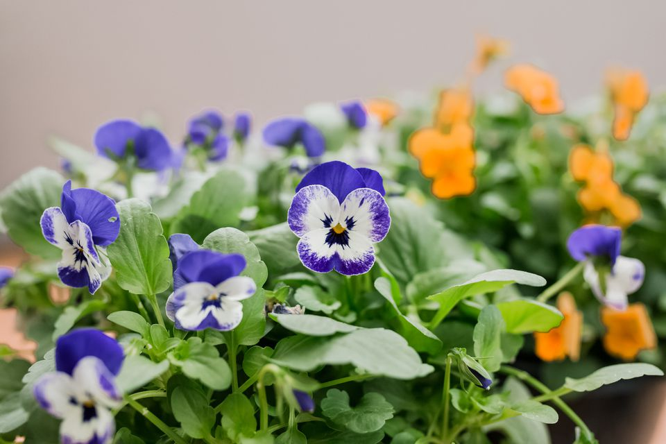 violas growing outdoors