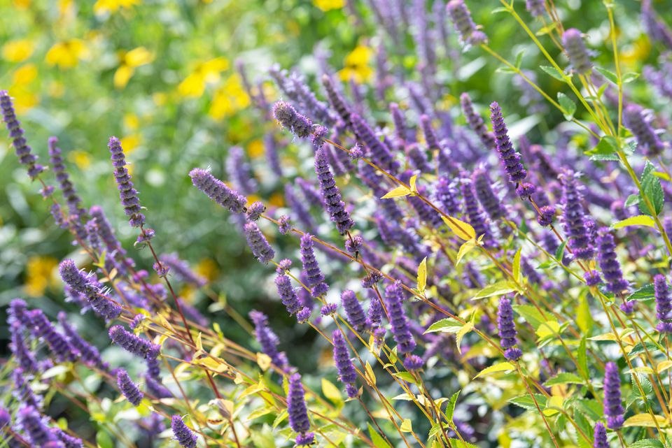 Anise hyssop plant with purple flower spikes and thin stems with yellow-green leaves