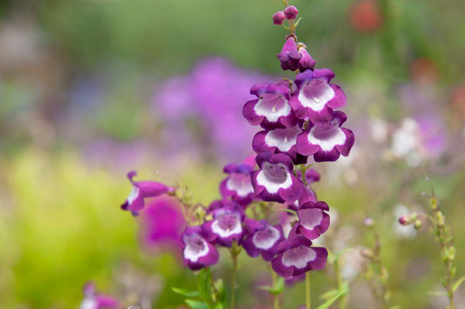 Beardtongue with purple and white flowers