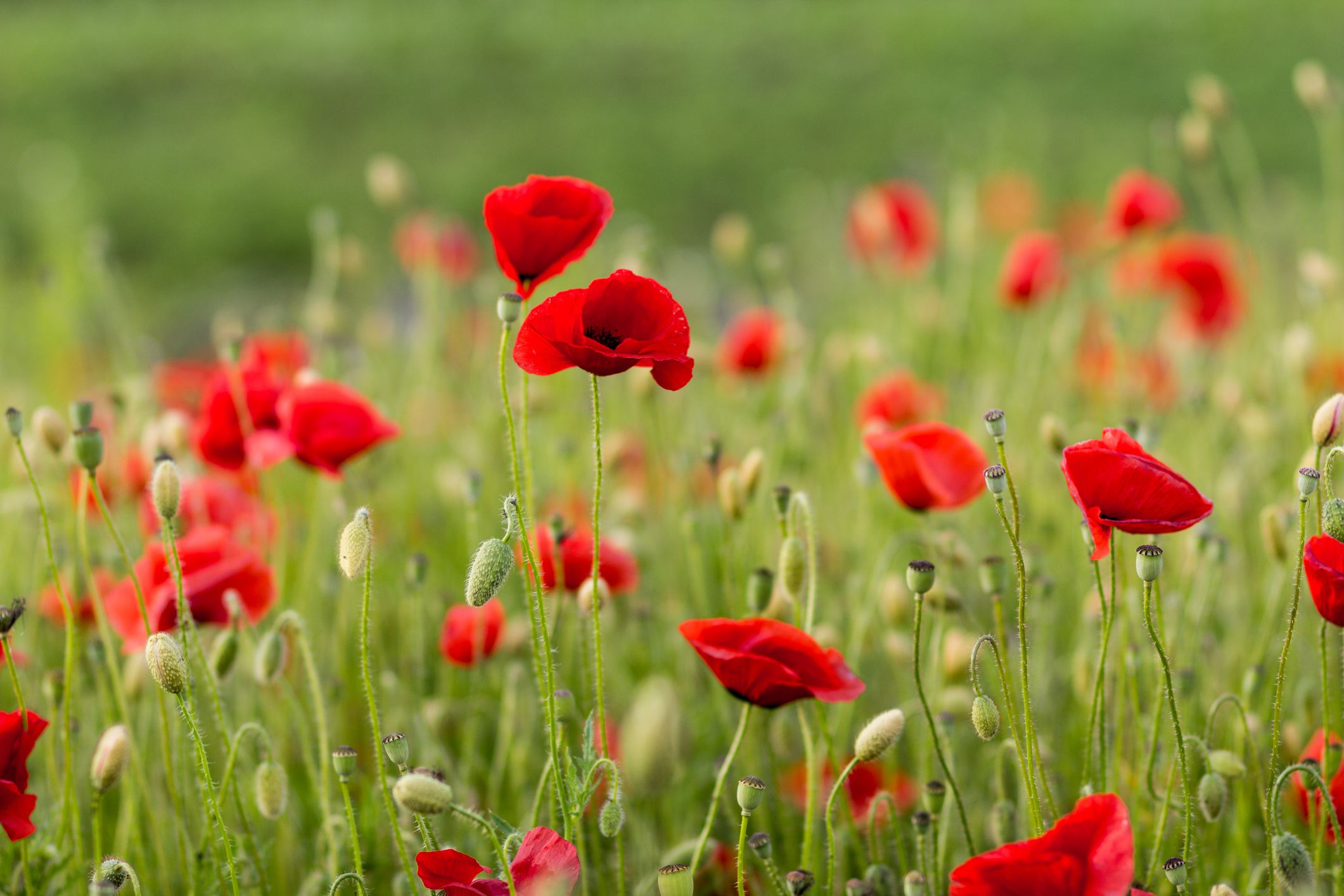 How To Grow And Care For Oriental Poppy