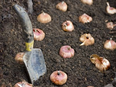 Planting Flower Bulbs