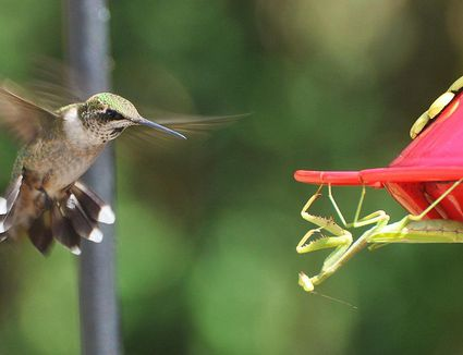 Getting A Tred Hummingbird Out Of The House Safely