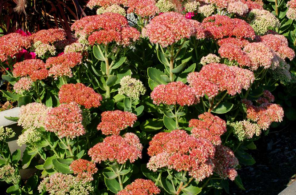 Autumn Joy sedum in bloom with its flat-topped clusters of pink flowers.