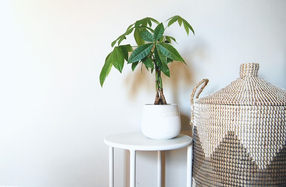 A Guiana Chestnut sits on a white stool in a white pot beside a wicker basket.