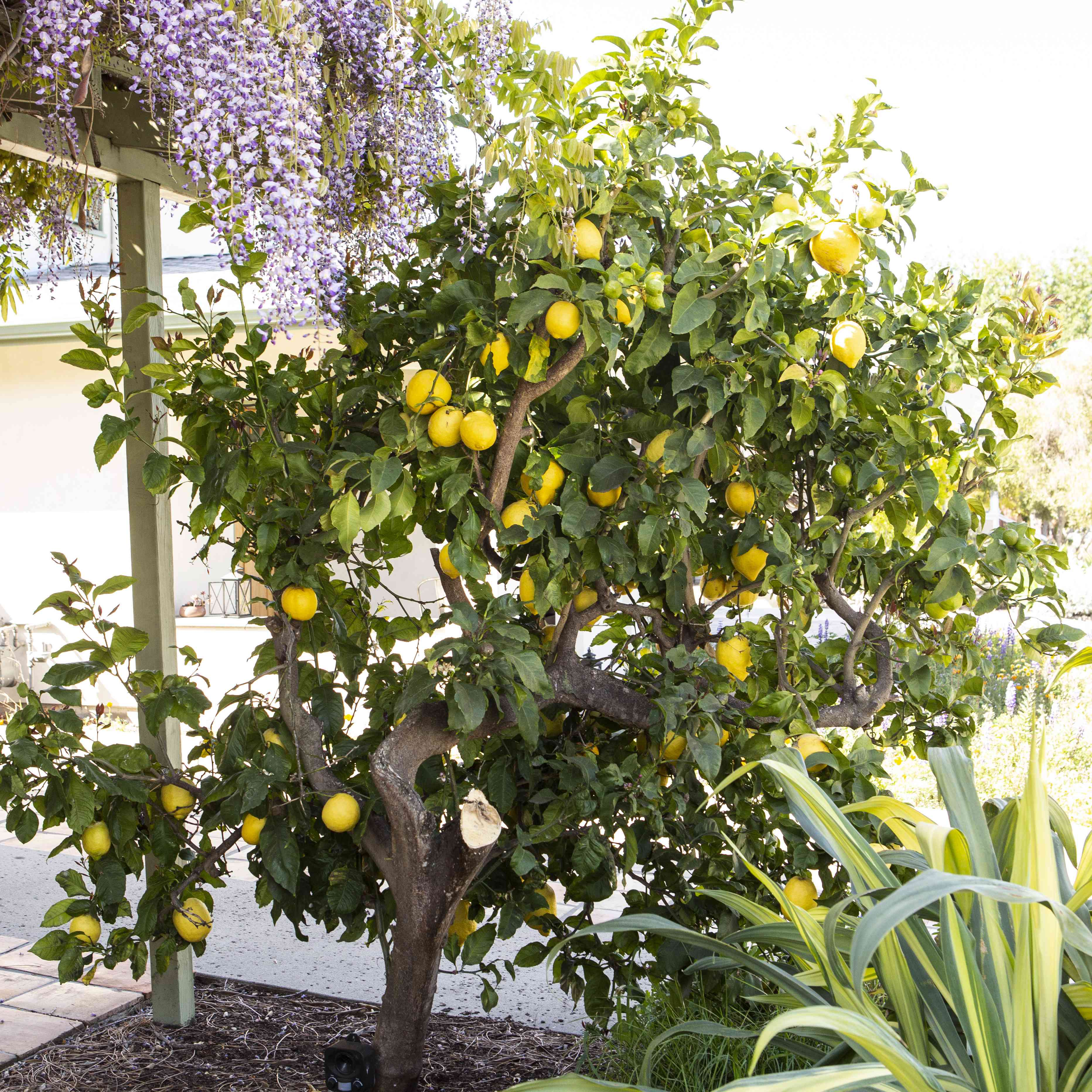 Lemon tree with yellow lemons and winding trunk in between green foliage and awning with purple flowers on top