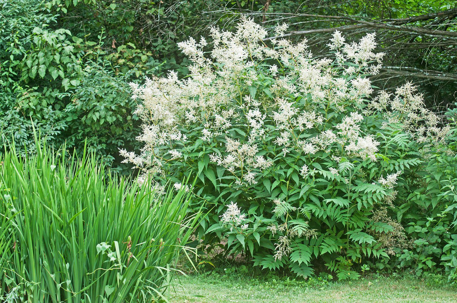 Growing Giant Fleece Flower Persicaria Polymorpha