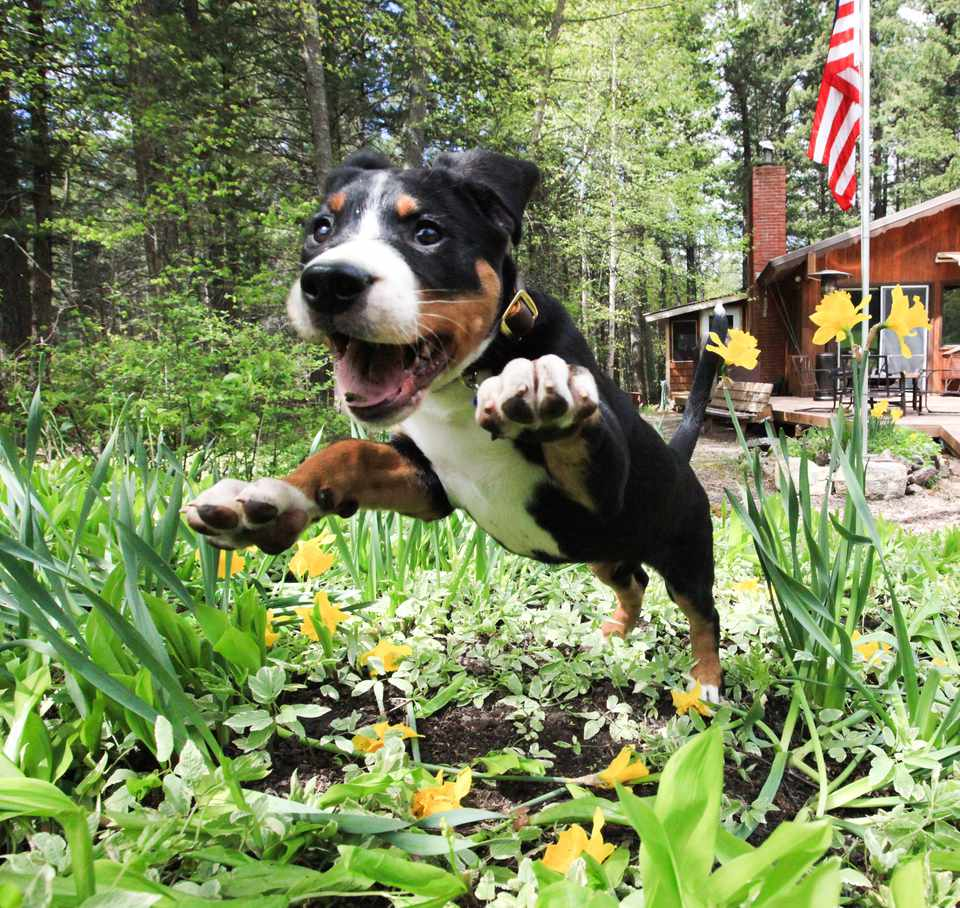 Puppy dog jumping into a flower garden