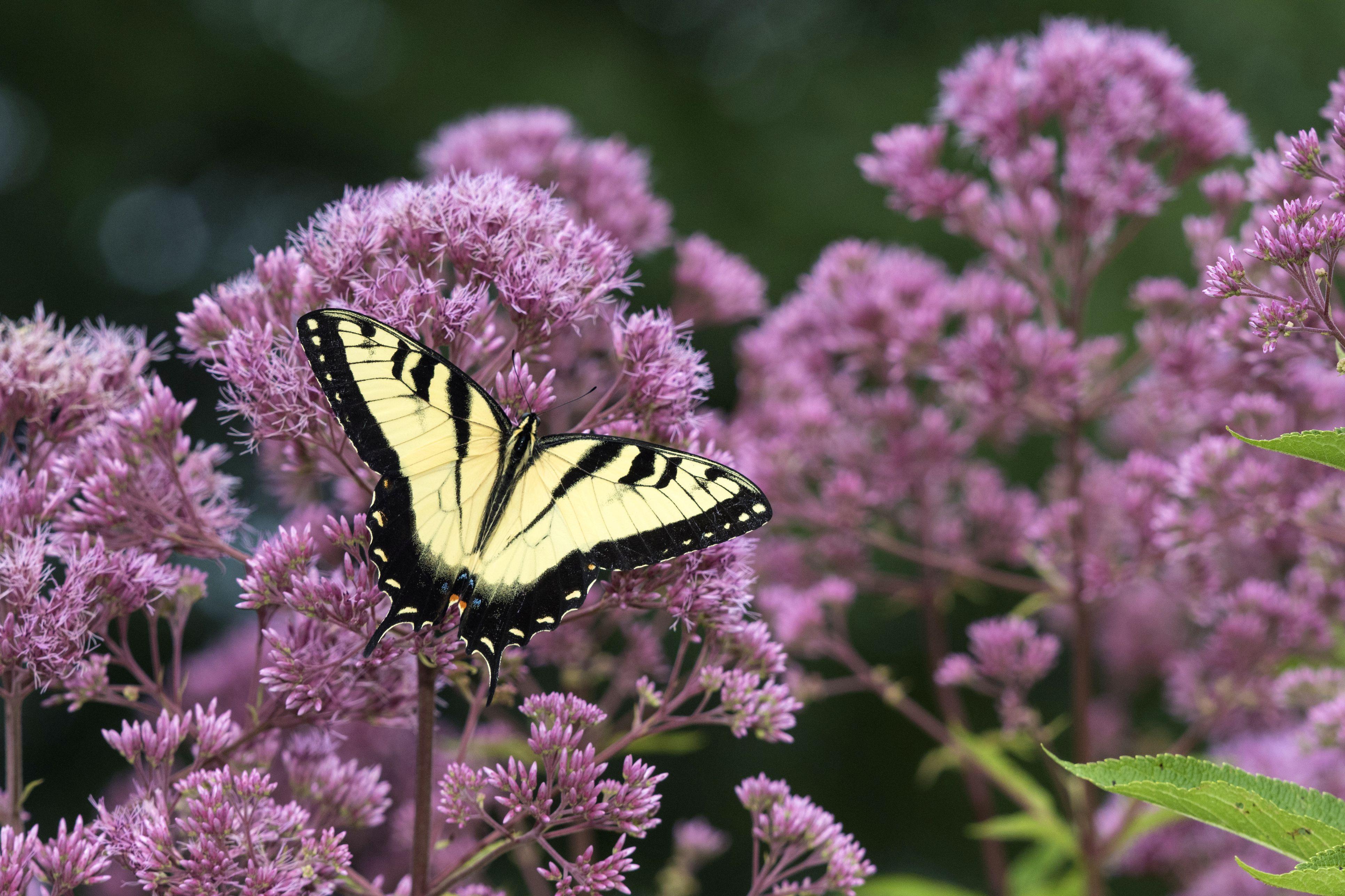 Eastern Tiger Swallowtail (Papilio glaucaus) feeding on Joe Pye Weed (Eutrochium purpureum), Marion County, Illinois, USA