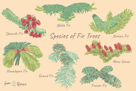 12 Species Of Fir Trees