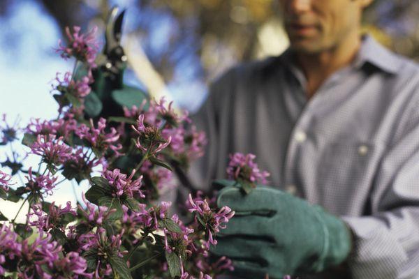 Man pruning bush with secateurs