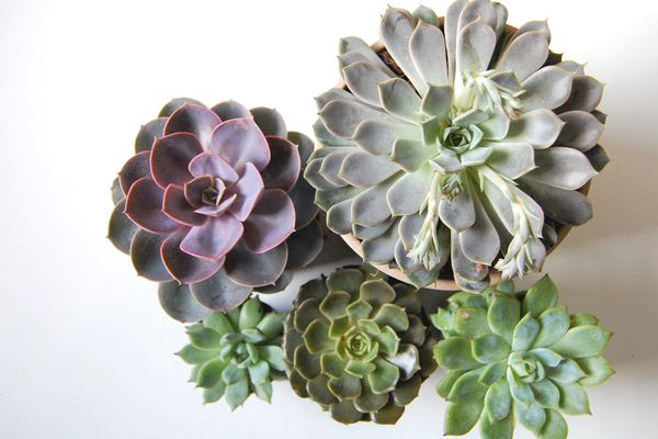 Several types of echeveria on a white table