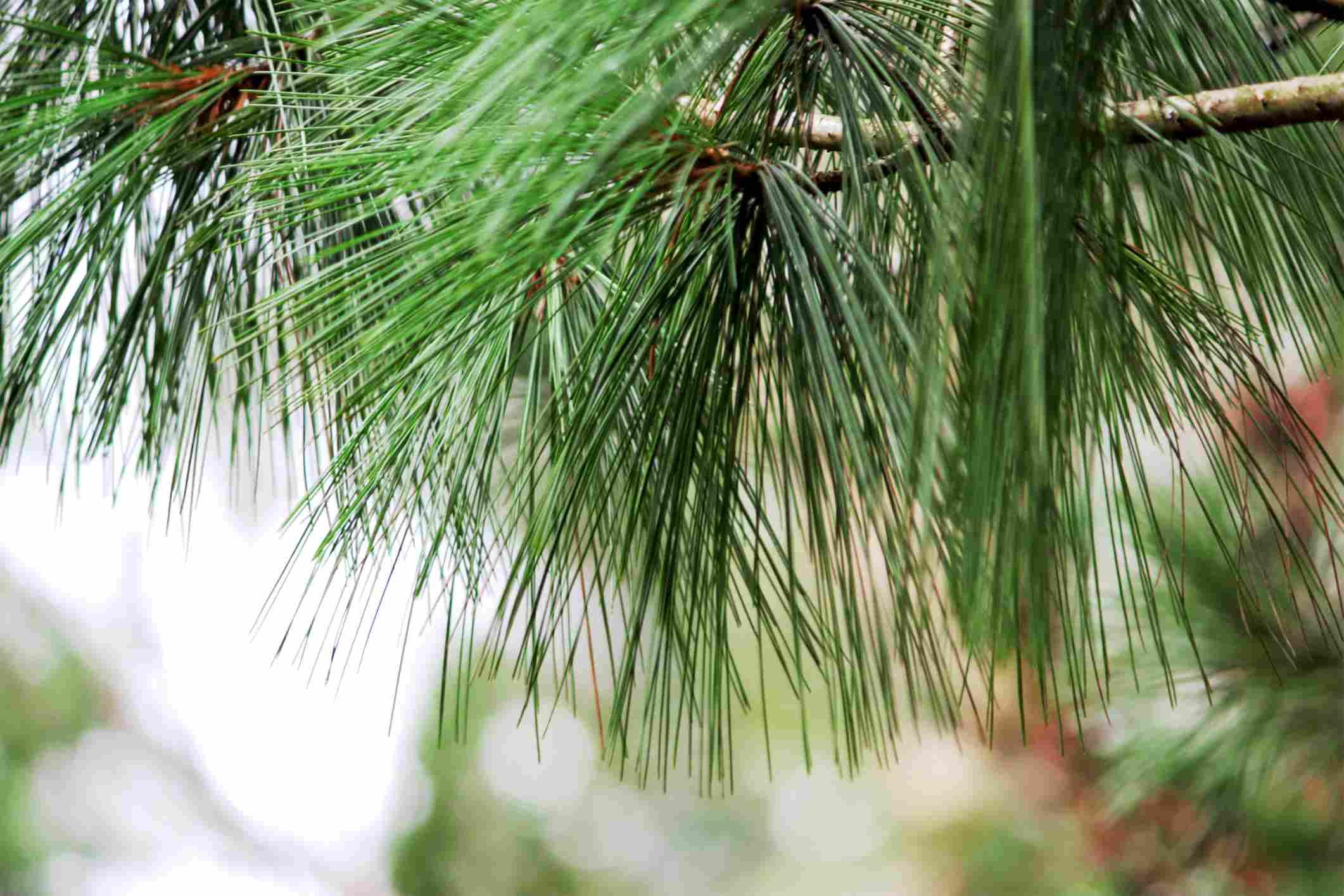 closeup of pine needles
