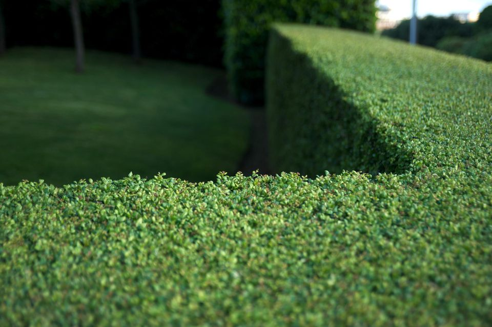 Clipped garden boxwood hedge (buxus)