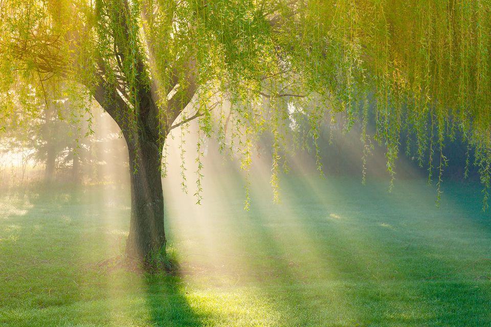 Sunbeams Through Willow Tree in Morning Fog