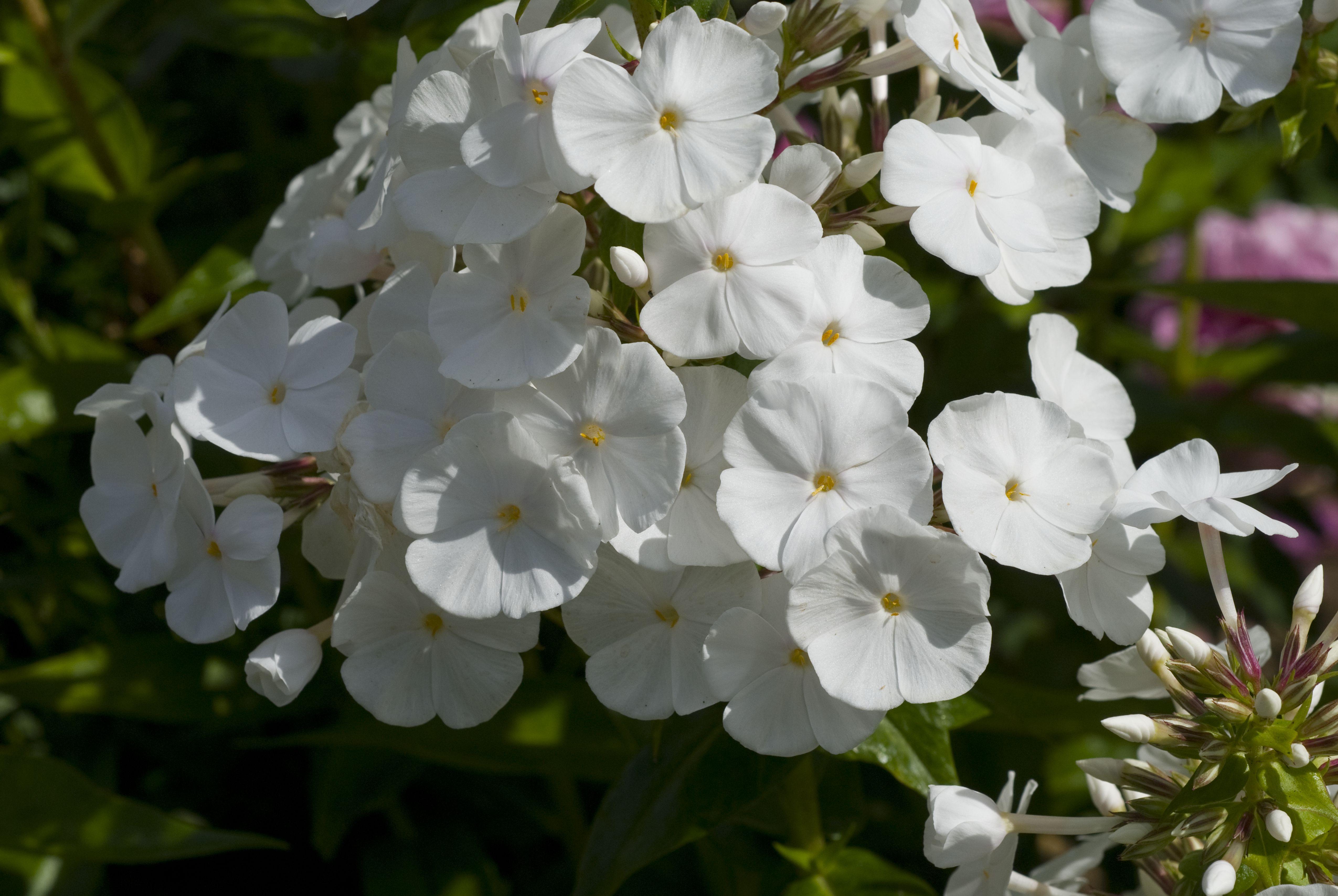 White Phlox paniculata David