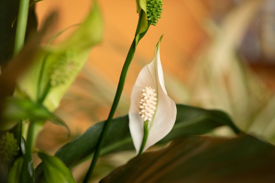 peace lily up close