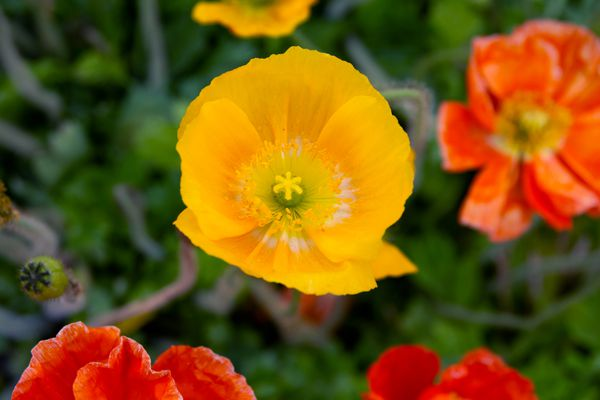 Icelandic poppies with yellow and red-orange flowers closeup