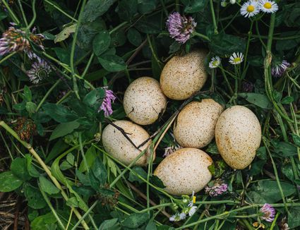 Wild bird nest with cream-colored eggs with brown spots surrounded by wildflowers