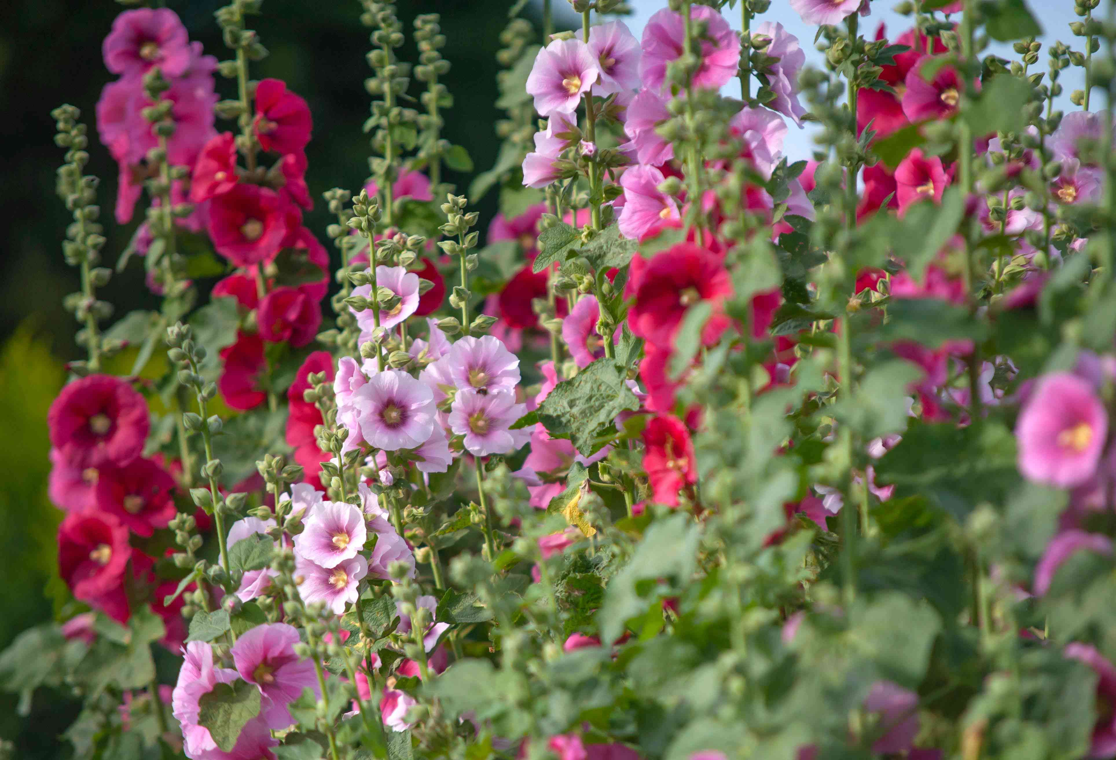 Hollyhock mallow plant with pink, white and red trumpet-shaped flowers and buds on flower spikes