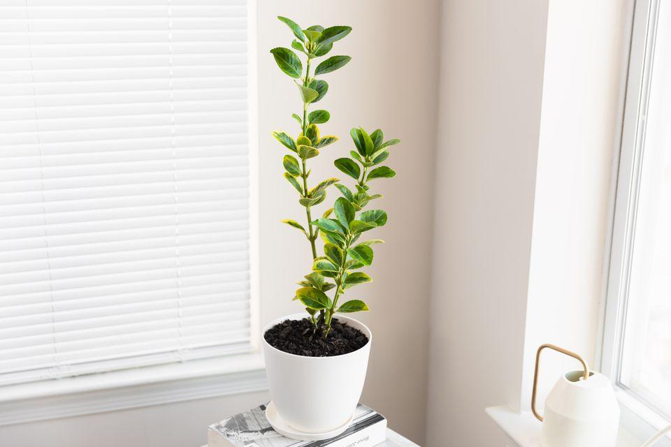 Japanese spindle plant in room corner