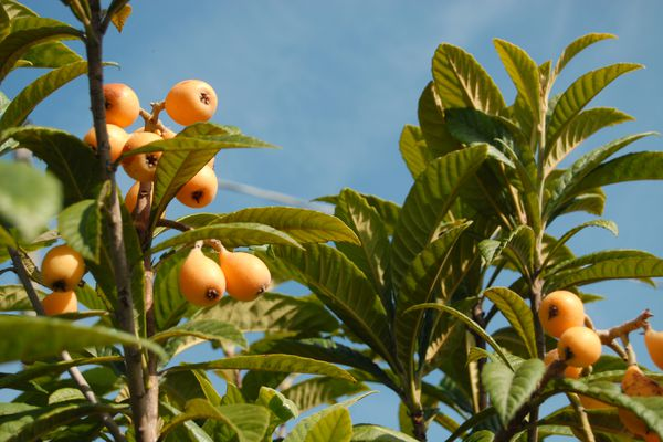 Japanese plum/loquat fruits growing in a tree with the blue sky above