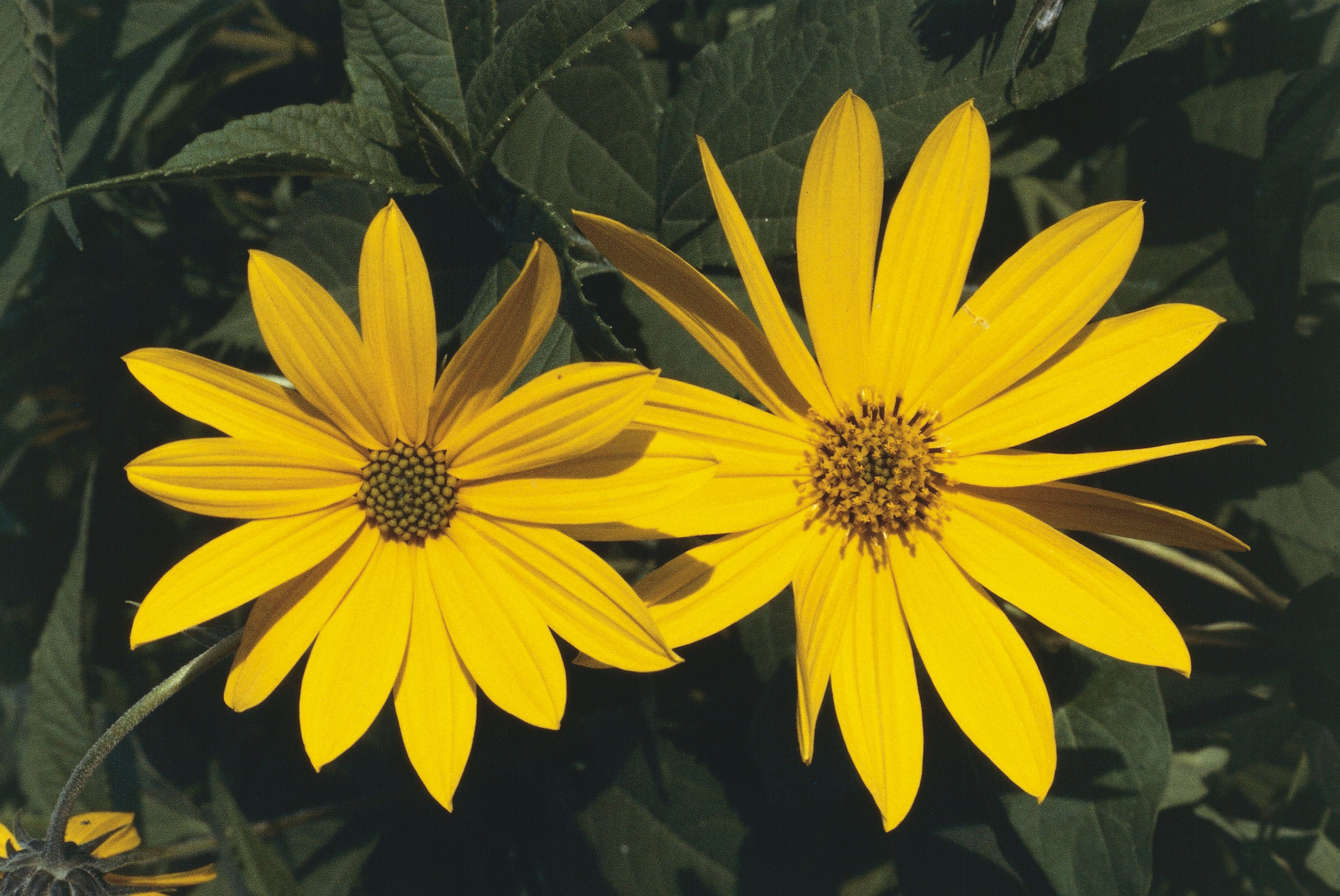 Top 15 fall blooming flowers for a perennial garden helianthus perennial sunflower mightylinksfo