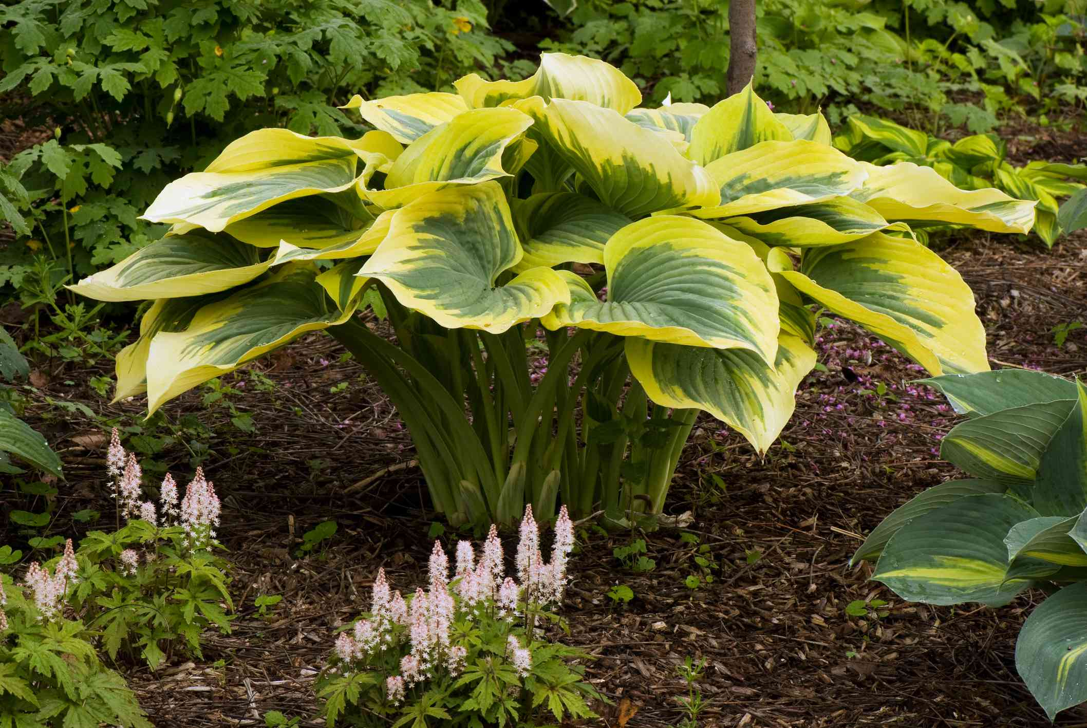 Hosta 'Liberty' planted in the ground with other flowers around it