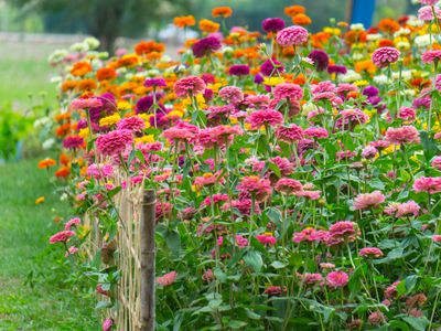 Zinnias Colorful And Easy To Grow Flowers
