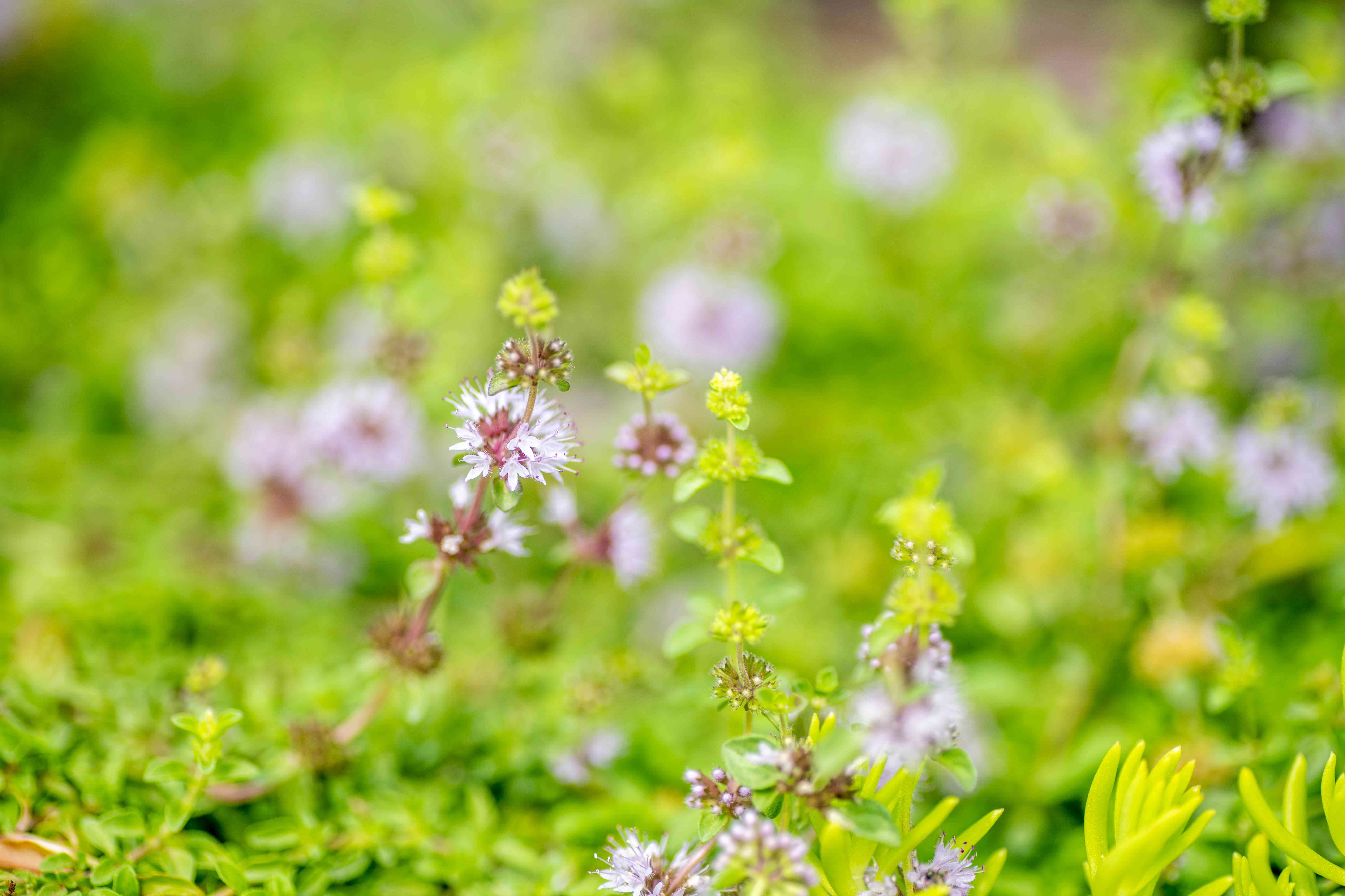 Pennyroyal plant stems with tiny purple blooms and leaves closeup