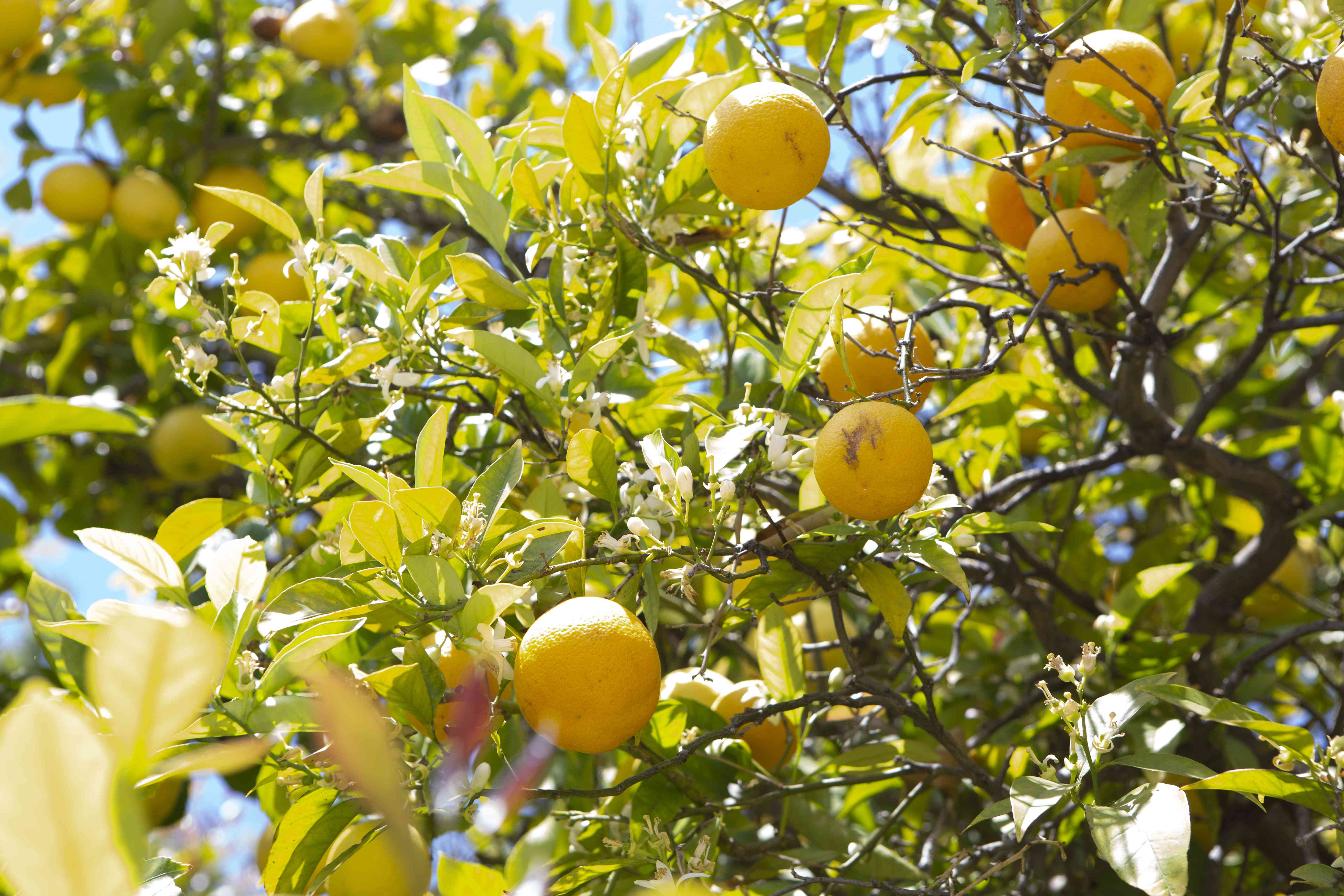 Lisbon lemon tree branches with yellow lemons and leaves in sunlight