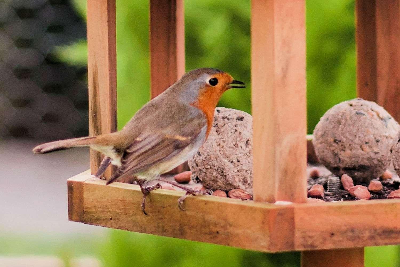 European Robin Eating Suet Balls