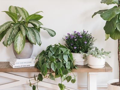exotic angel plant variety