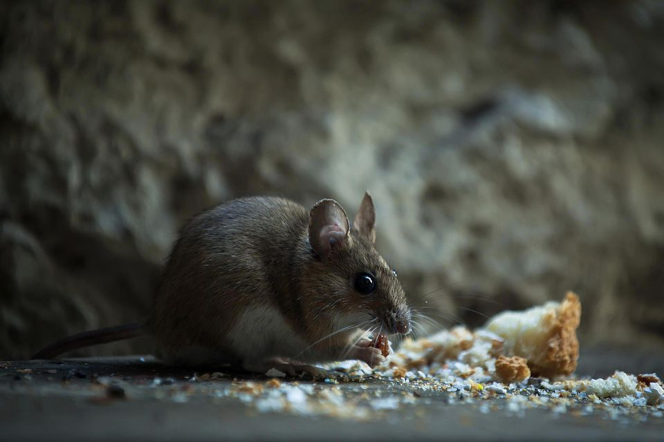 Mouse nibbling on bread crumbs