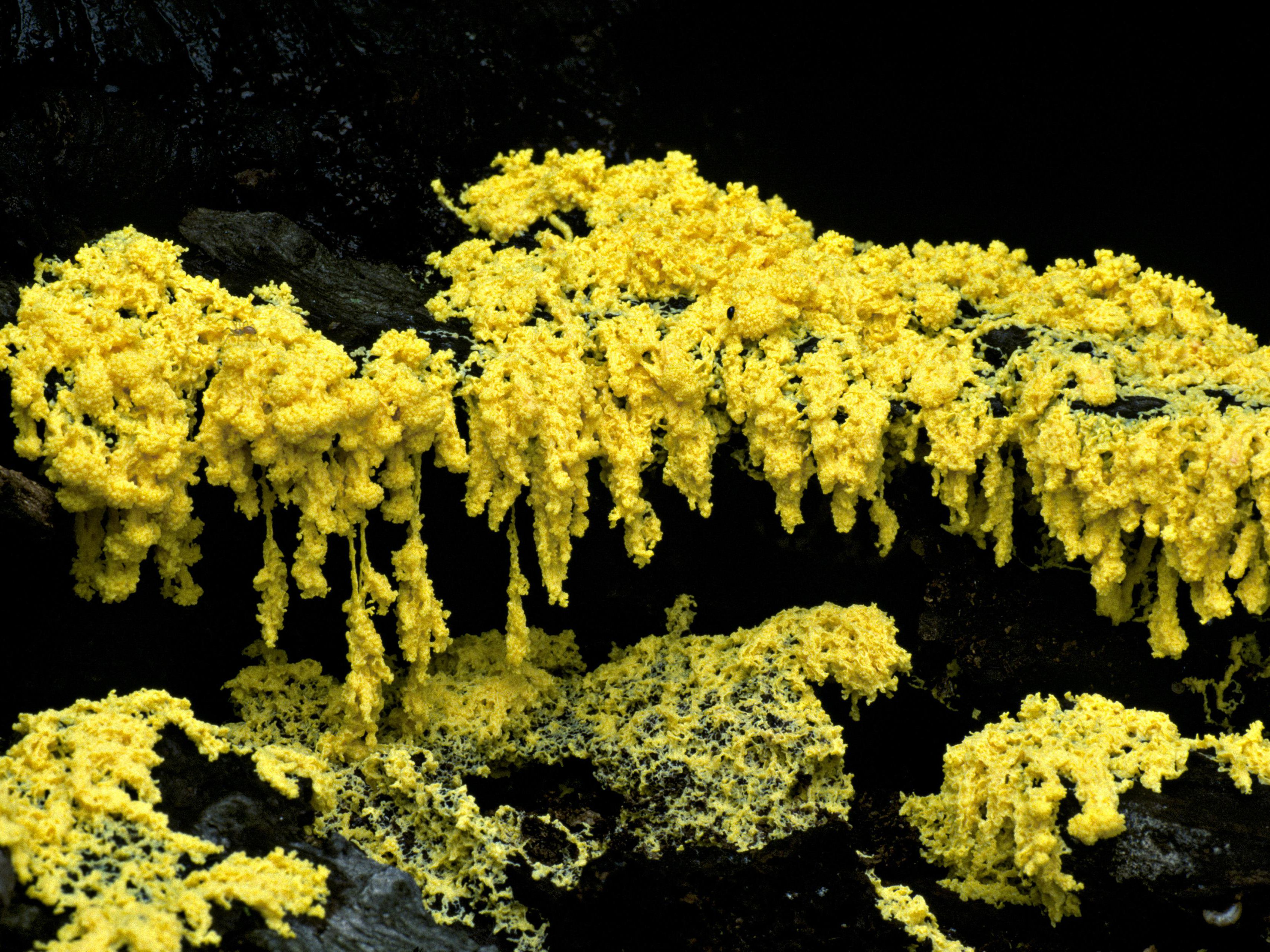 Dog Vomit Slime Mold Care And Growing Guide