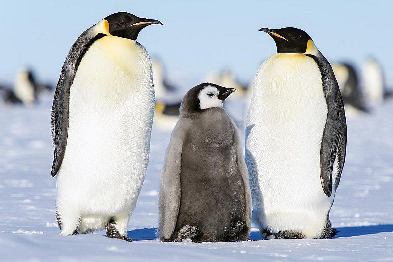 Video Pinguin