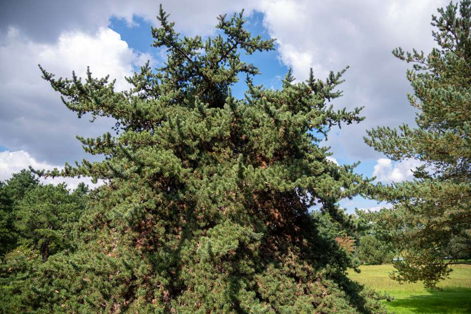 Jack pine tree with sprawling and unmaintained evergreen branches in sunlight