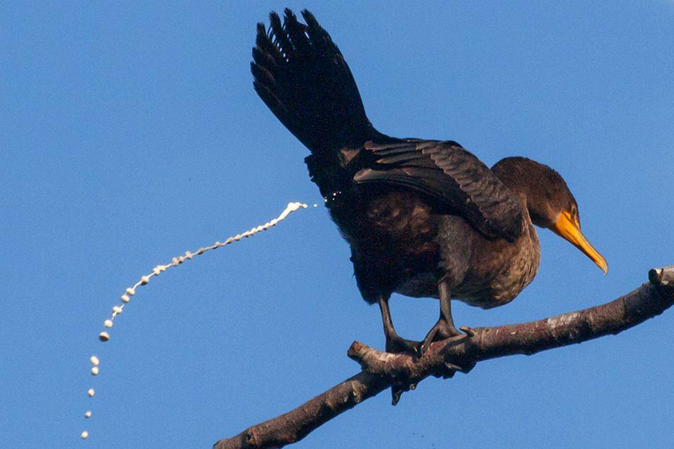 Bird Cloaca