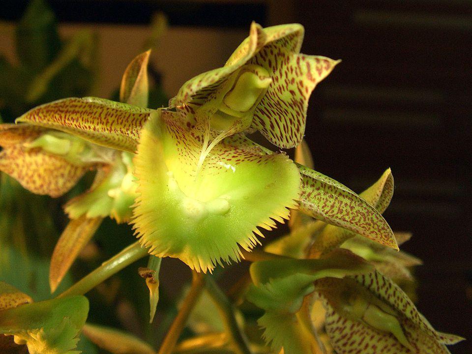 Close up of a Catasetum fimbriatum orchid