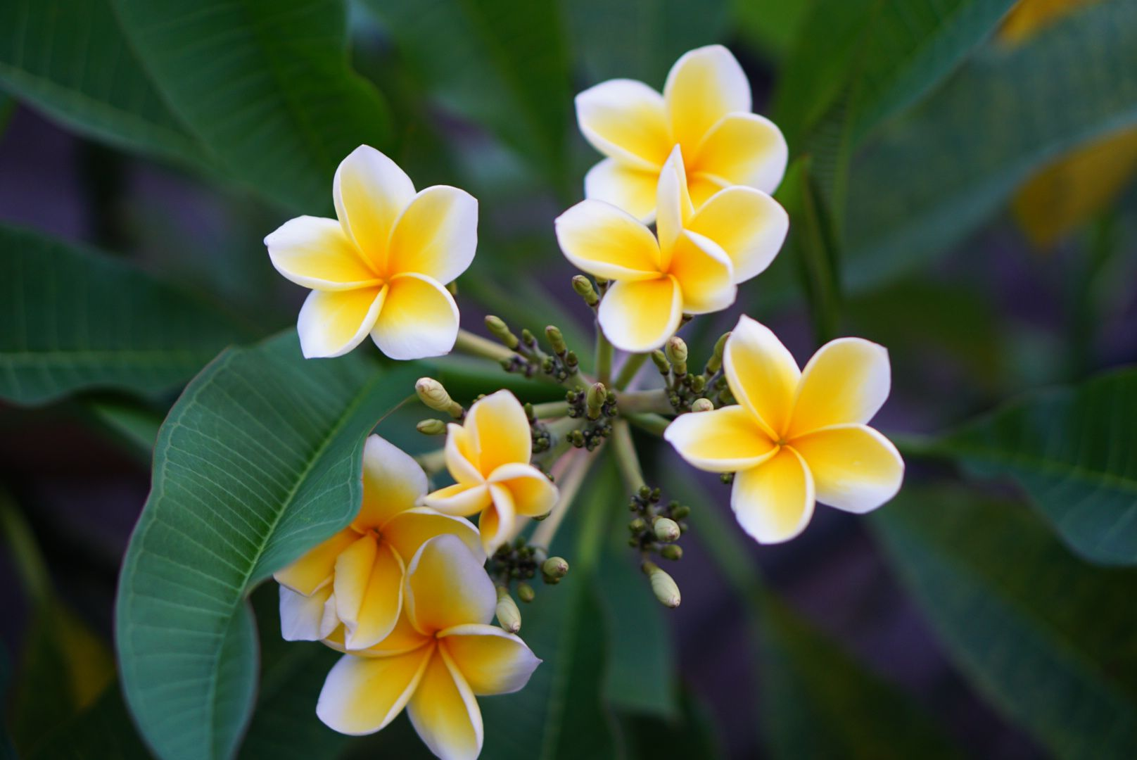 White frangipani plant with swirl-like flowers with yellow petals and white edges closeup
