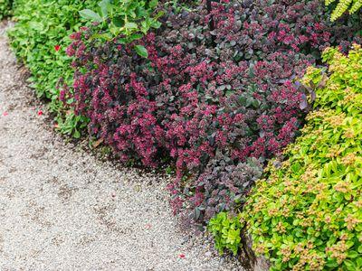 Colorful sedum (stonecrop) varieties as ground cover