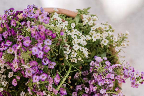 sweet alyssum spilling out of its container