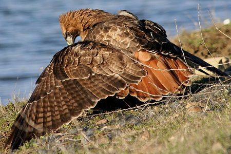 Red Tailed Hawk Mantling Over Prey