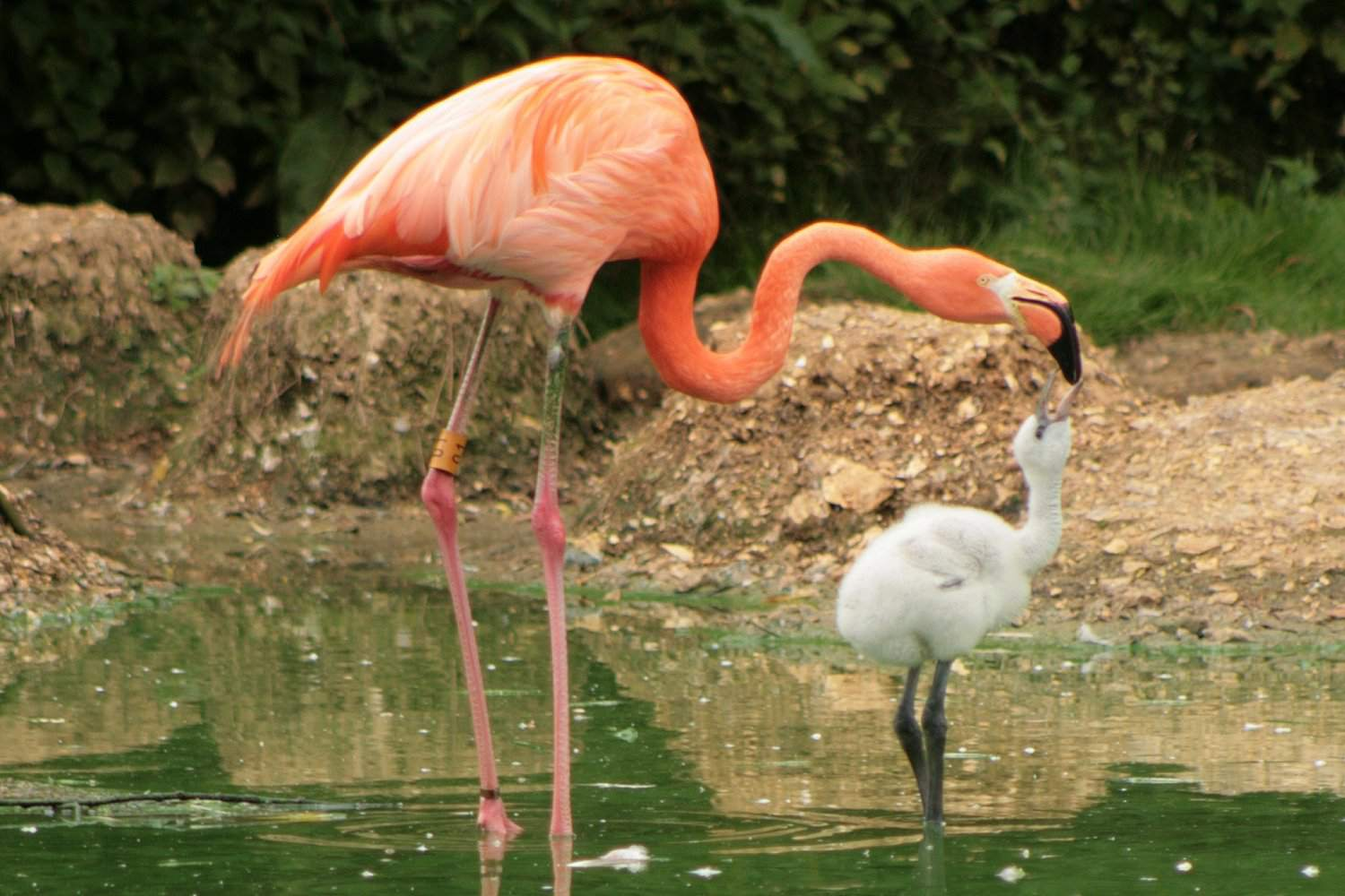Adult Flamingo and Chick
