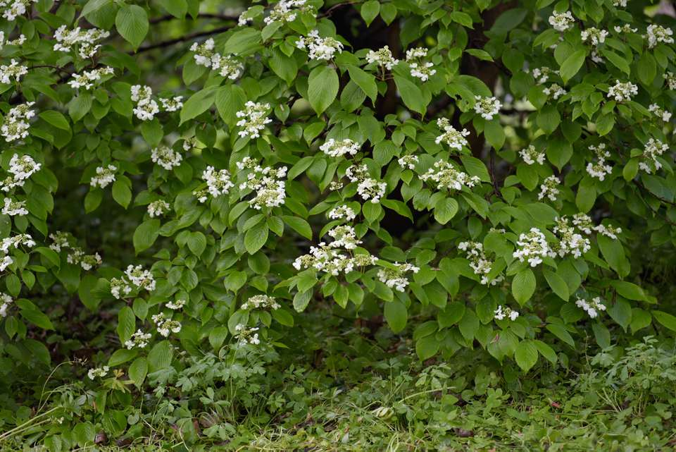 Doublefile viburnum shrub with small white flower clusters with oval leaves