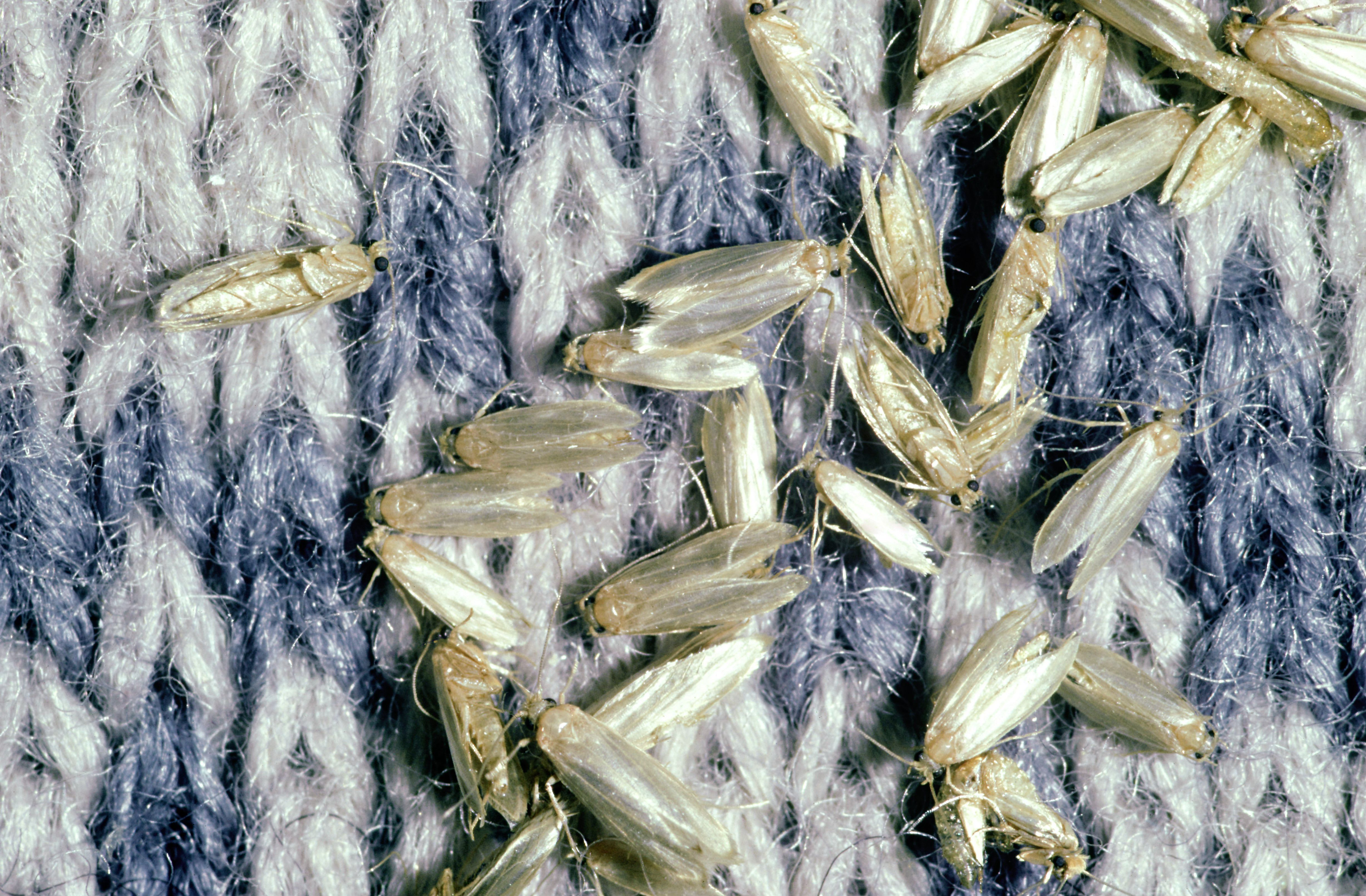 Dozens of webbing clothes moths on a sweater.