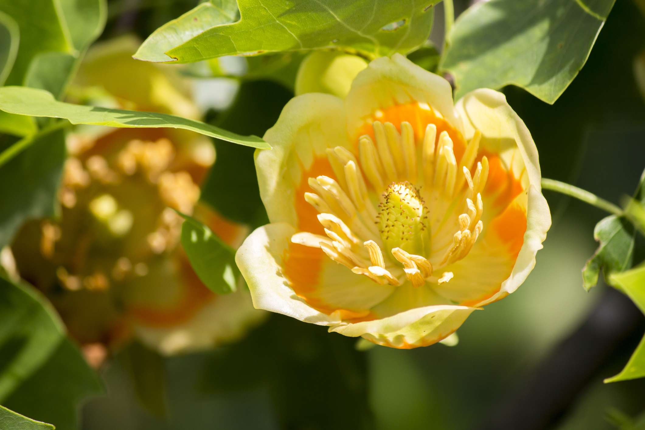 Tulip poplar tree with yellow and orange flower on branch closeup