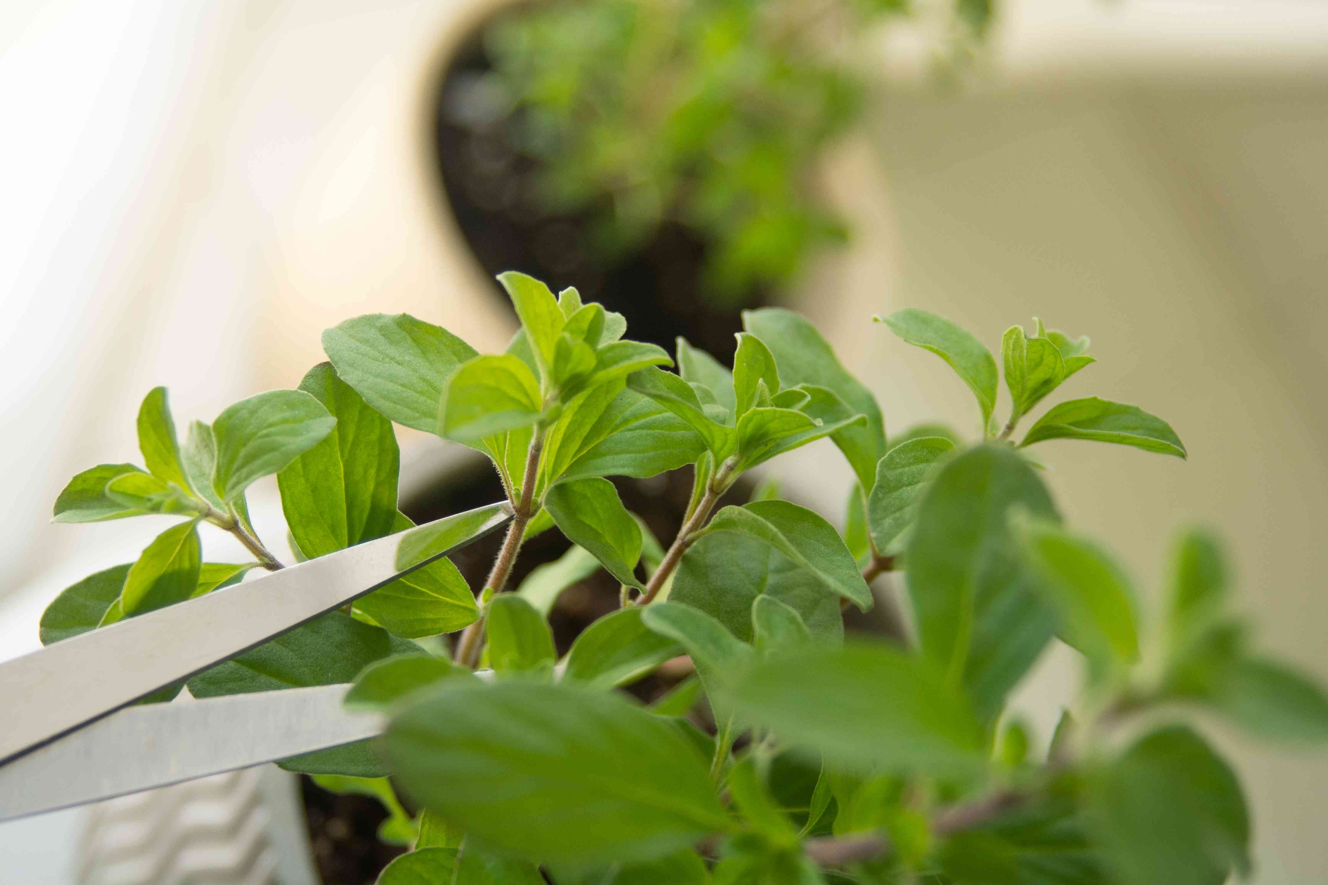 Sweet marjoram her plant being cut from top stems with scissors closeup